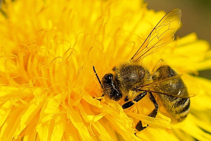 biene auf l wenzahn bild 534 bildergalerie fliegen hummeln bienen wespen 337