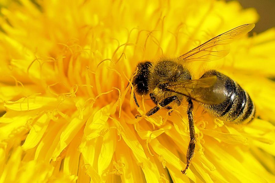 biene auf l wenzahn bild 533 bildergalerie fliegen hummeln bienen wespen 258. Black Bedroom Furniture Sets. Home Design Ideas